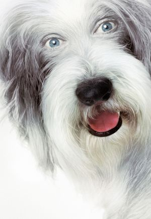 The Shaggy Dog 2891x4200