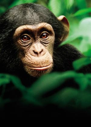 Chimpanzee 3587x5000