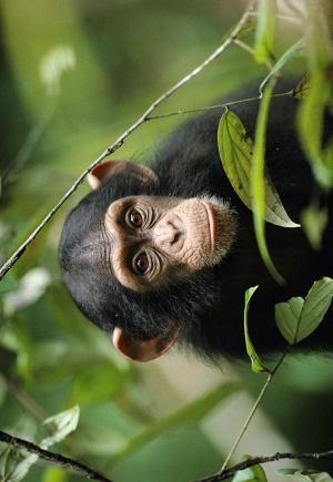 Chimpanzee 707x1024